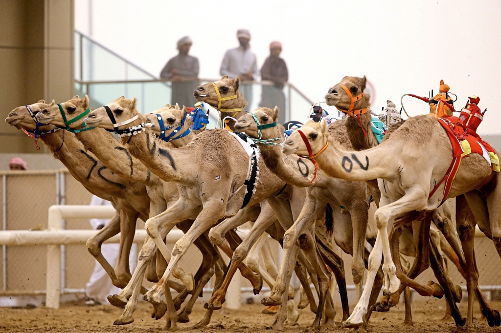 Camel racing dubai betting lines hattongames betting sites